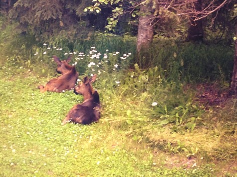 The morning we left for the glacier, we found a Momma moose and two babies in our backyard!