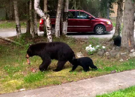 Momma bear leaving the campus scene with her fish and her cubs.