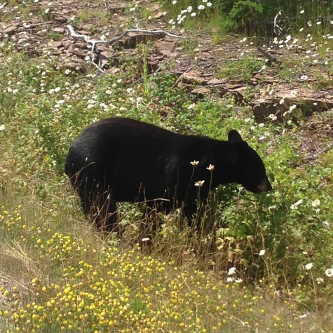 Our little friend the bear let us watch him eat berries from only 20 feet away!