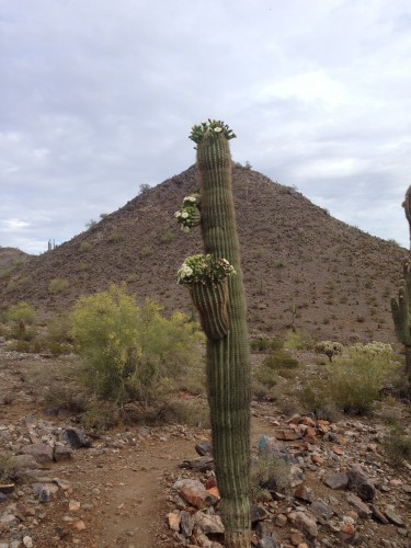 Another blooming saguaro.