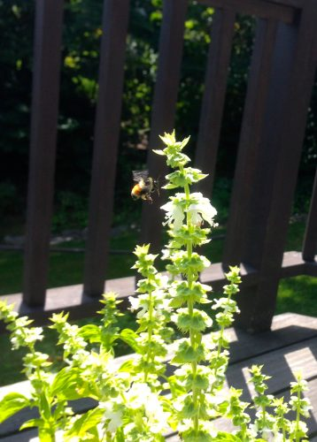 A bee hovering around the basil starting to go to seed.