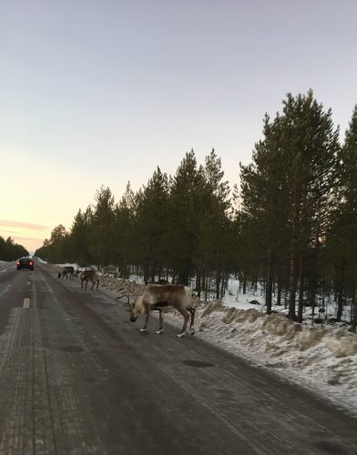 Caution! Reindeer on road!